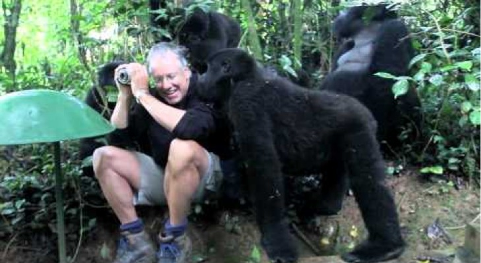 A man greeted with affection by this group of gorillas